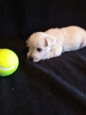 West Highland White Terrier Puppy For Sale in MOUNTAINBURG, AR, USA