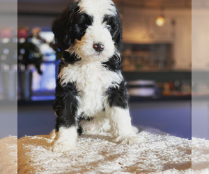 Bernedoodle Puppy for sale in GOLDEN, CO, USA