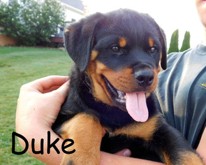 View Ad Rottweiler Puppy For Sale Near Ohio Millersburg Usa Adn