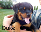 Rottweiler Puppy For Sale in MILLERSBURG, OH, USA