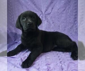Labrador Retriever Puppy for sale in DRY RUN, PA, USA