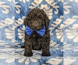 Poodle (Miniature) Puppy for sale in KIRKWOOD, PA, USA