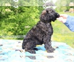 Small #32 Goldendoodle