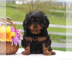 Cavalier King Charles Spaniel Puppy for sale in NARVON, PA, USA