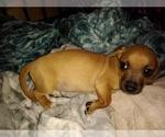 Puppy 0 Chiweenie