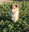 Collie Puppy For Sale in UNION GROVE, NC, USA