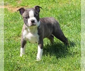 Boston Terrier Puppy for Sale in FREDERICKSBG, Ohio USA