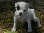 Puppy 6 Boxer