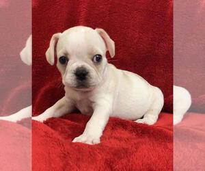 French Bulldog Puppy for Sale in CHARLESTON, South Carolina USA