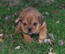 Olde English Bulldogge Puppy For Sale in WALWORTH, WI