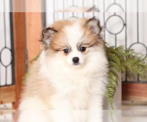 Pomeranian Puppy for sale in NAPLES, FL, USA