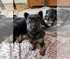 German Shepherd Dog Puppy for sale in BROOKSVILLE, FL, USA