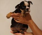 Puppy 5 English Bulldog