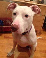 Cocoa - Bull Terrier / American Staffordshire Terrier / Mixed (short coat) Dog For Adoption