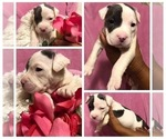 American Pit Bull Terrier Puppy For Sale in HIALEAH, FL, USA