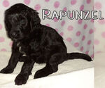 Puppy 8 Goldendoodle-Poodle (Standard) Mix