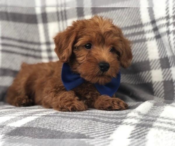 Medium Photo #10 Shih Tzu-Yorkie-Poo Mix Puppy For Sale in LAKELAND, FL, USA