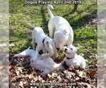 Small Photo #216 Dogo Argentino Puppy For Sale in PINEVILLE, MO, USA