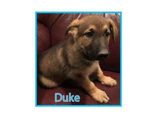 German Shepherd Dog Puppy For Sale in CLARKSTON, UT, USA