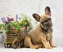French Bulldog Puppy For Sale in Bobrytsya, Kyiv, Ukraine