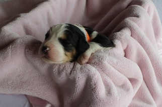 Bernese Mountain Poo Puppy For Sale in MARYVILLE, MO