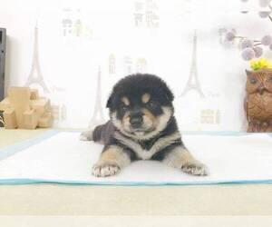 Shiba Inu Puppy for sale in SEATTLE, WA, USA