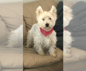 Father of the West Highland White Terrier puppies born on 10/05/2019