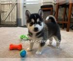 Puppy 7 Pomsky