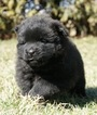 Puppy 3 Chow Chow