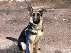 German Shepherd Dog Puppy For Sale in CASCADE, CO, USA