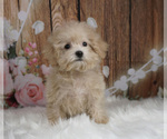 Puppy 15 Maltipoo