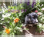 Puppy 8 Border Collie