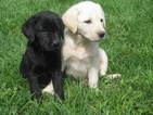 Labrador Retriever Puppy For Sale in WYOMING, NY, USA