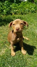 View Ad American Pit Bull Terrier Puppy For Sale Near Ohio Akron