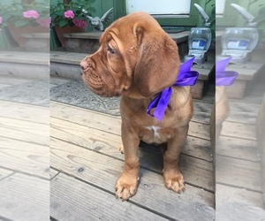Dogue de Bordeaux Puppy for Sale in LAYTONVILLE, California USA