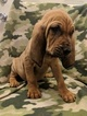 Small #3 Bloodhound