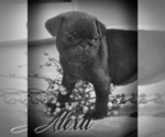 Small Photo #2 Pug Puppy For Sale in ELVERSON, PA, USA