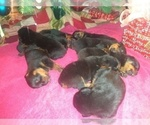 Small #8 Rottweiler