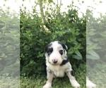 Puppy 7 Border-Aussie