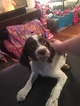 Brittany Puppy For Sale in ELYRIA, OH, USA