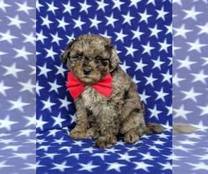 Poovanese Puppy for sale in RISING SUN, MD, USA