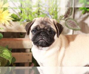 Pug Puppy for sale in MOUNT VERNON, OH, USA