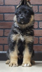 German Shepherd Dog Puppy For Sale near 46550, Nappanee, IN, USA