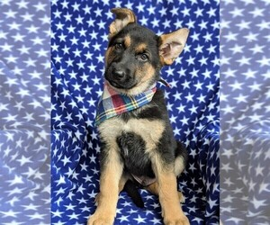 German Shepherd Dog Puppy for sale in NORTH EAST, MD, USA