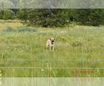 Puppy 8 Anatolian Shepherd