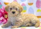 Miniature Labradoodle Puppy For Sale in MOUNT JOY, PA, USA