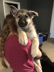 German Shepherd Dog Puppy For Sale in BARTLETTSVILLE, IN, USA