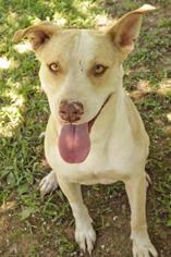 Mollie Jo - Labrador Retriever Dog For Adoption