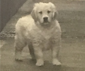 Golden Retriever Puppy for Sale in EASTON, Massachusetts USA