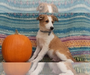 Border Collie Puppy for sale in LANCASTER, PA, USA